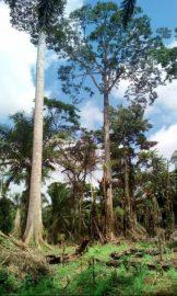 Quelques arbres à abattre pour le champ