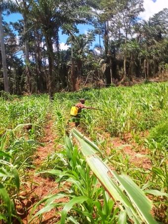 Le champ de maïs malheureusement attaqué par des insectes qui seront traités