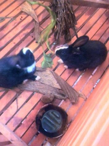 Les premiers lapins