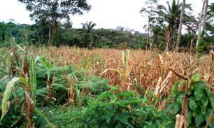 Décembre 2017 : le maïs est mûr