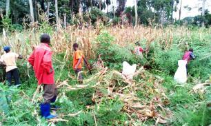 Récolte du maïs décembre 2017